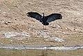 African Openbill (Anastomus lamelligerus) (12027468405).jpg
