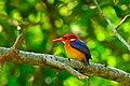 African Pygmy Kingfisher (Ispidina picta) (33161482716).jpg