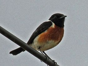 African Stonechat RWD.jpg