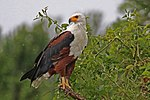 African fish eagle (Haliaeetus vocifer).jpg