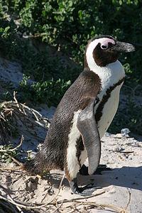 African penguin 2 - sb616