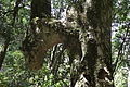 Afromontane forest - Cecilia forest Cape Town.jpg