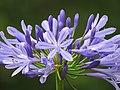 Agapanto (Agapanthus praecox) - Flickr - Alejandro Bayer (2).jpg