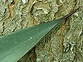 Agave aff. tequilana 2019-12-13 6473.jpg