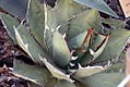 Agave potatorum 3zz.jpg