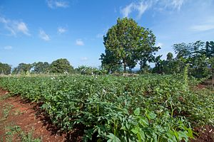 Agriculture in Cameroon - Potatoe field in Bamboutos