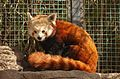 Ailurus fulgens at the Denver Zoo-2012 03 12 0728.jpg
