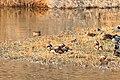 Aix galericulata 3.jpg