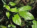 Alangium salviifolium leaves 08.JPG