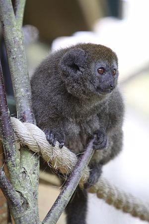 Lac Alaotra bamboo lemur - Lac Alaotra bamboo lemur at Durrell Wildlife Park (Jersey)