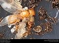 Alate ant queen (Pheidole dentata) (41317175135).jpg