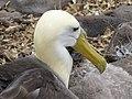 Albatross birds - Espanola - Hood - Galapagos Islands - Ecuador (4871633744).jpg