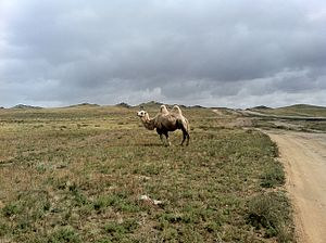 Bayankhongor Province - Albino camel in the Bayankhongor Province landscape.