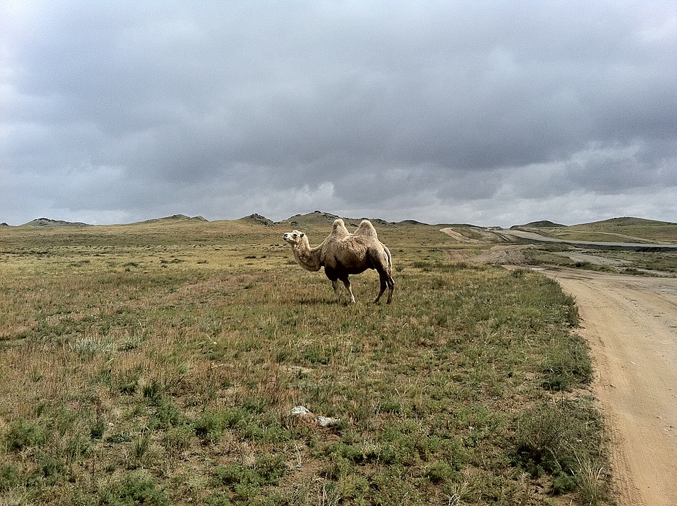 Albino camel in Bayankhongor Aimag, Mongolia