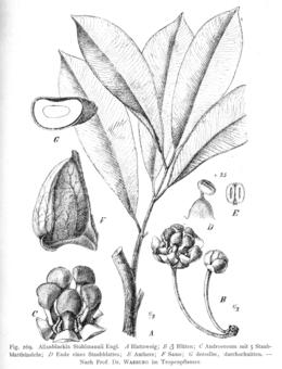 Allanblackia stuhlmannii (Clusiaceae)