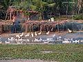 Allied farming activities , Havelock Island, Andaman, India.JPG