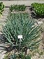 Allium pskemense - Botanischer Garten München-Nymphenburg - DSC07849.JPG