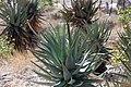 Aloe littoralis (Windhoek Aloe)-2268 - Flickr - Ragnhild & Neil Crawford.jpg