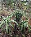 Aloe sp. Muidumbe - plants (7660647170).jpg