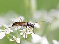 Alosterna tabacicolor (Cerambycidae- Lepturinae) (10491403286).jpg
