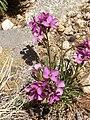 Alpine Pink (Dianthus alpinus) P6040286.jpg
