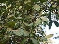 Alseodaphne semicarpifolia (8502225937).jpg