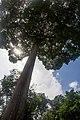 Alstonia angustiloba on Pulau Ubin - panoramio.jpg