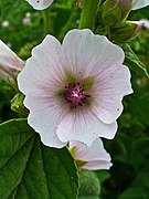 Althaea officinalis 002.JPG