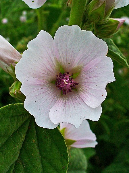 File:Althaea officinalis 002.JPG