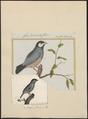 Amadina oryzivora - 1700-1880 - Print - Iconographia Zoologica - Special Collections University of Amsterdam - UBA01 IZ15900187.tif