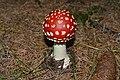 Amanita muscaria (mlado plodonosno telo).jpg