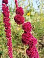 Amaranthus caudatus sl7.jpg