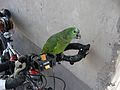 Amazona aestiva -perching on handlebar-8a.jpg