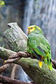 Amazona oratrix -Baltimore Aquarium, USA-8b.jpg