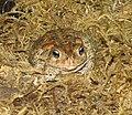American Toad Image 002.jpg
