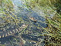 American alligator babies (7093856125).jpg