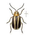 Amphelasma decoratum (Diabrotica decorata).png