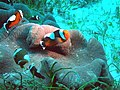 Amphiprion polymnus.jpg