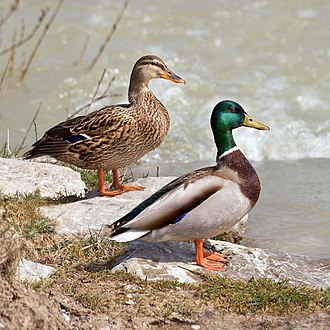 Polymorphism (biology) - A female (left) and a male (right) Mallard duck (A. platyrhynchos). Like many other species of birds, Mallards display striking sexual dimorphism.