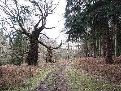 Ancient Oaks - Croft Castle - Feb 2012 - panoramio (1)
