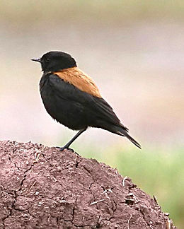 Andean Negrito (Lessonia oreas) on the ground, side view.jpg