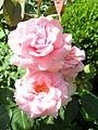 André le Nôtre Rose.jpg