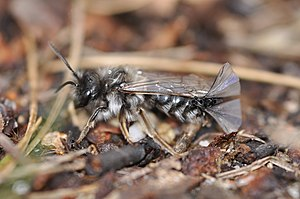 Strepsiptera - Andrena vaga male bee, with Stylops melittae mating on its abdomen