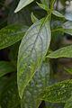 Andrographis paniculata - Howrah 2012-09-23 0351.JPG