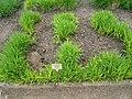 Andropogon gerardii - Berlin Botanical Garden - IMG 8589.JPG
