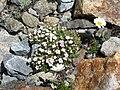 Androsace alpina & Leucanthemopsis alpina.jpg