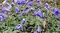 Anemone blanda in Jardin des Plantes 02.jpg
