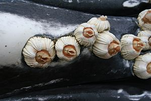 Barnacle - Image: Anim 1032 Flickr NOAA Photo Library