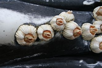 Barnacle - Whale barnacles attached to the throat of a humpback whale