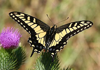 <i>Papilio zelicaon</i> species of insect